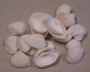 Item #SH008 - Clamrose Shells