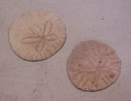 Item #SH004A - Large Sand Dollars